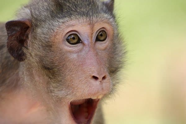 Surprised Monkey Image